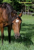 SH06-037z  Arabian Horse - Mare grazing