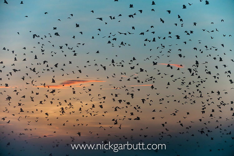 Straw-coloured Fruit Bats (Eidolon helvum) returning to their daytime roost at dawn. Kasanka National Park, Zambia.