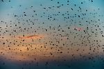 Straw-coloured Fruit Bats (Eidolon helvum) returning to their daytime roost at dawn. Kasanka National Park, Zambia.