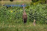 Sandhill crane and chick
