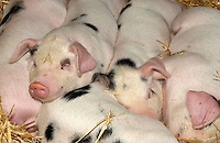Gloucestewr Old Spot piglets at the Royal Bath and West Show.