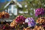 Hydrangeas With House
