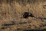 Male wild turkey in spring