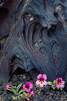 Dwarf monkeyflower and lava<br /> Loop Road<br /> Craters of the Moon National Monument<br /> Butte County,  Idaho