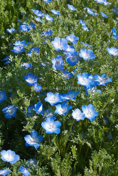 Blue flowers of Nemophilas menziesii 'Baby Blue Eyes'
