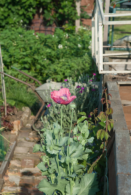 Self-seeded poppy growing on an allotment plot, early June.