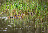 Female Mallard swimming in grassy wetland with eight baby ducklings in downy feathers following her