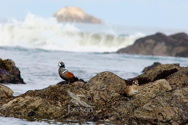Harlequin Duck (Histrionicus histrionicus) pair,  Pacific Northwest Coast.