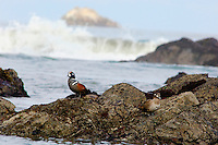 Harlequin Duck (Histrionicus histrionicus) pair,  Pacific Northwest Coast.