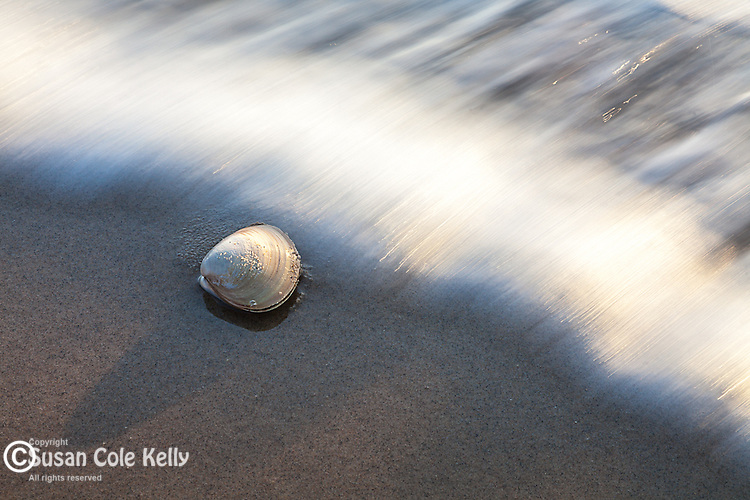 Clamshell in the surf at Nauset Light Beach, Cape Cod National Seashore, Eastham, Massachusetts, USA