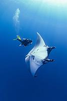 giant oceanic manta ray, Mobula birostris, formerly Manta birostris, and woman scuba diver, San Benedicto, Revillagigedo Islands, Mexico, Pacific Ocean