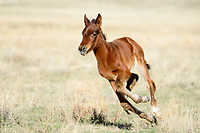 Foal Throttle. There is something completely joyful about watching a wild foal discovering speed and power in their spindly legs. This little guy sprinted several laps around mom before enjoying a much-deserved drink of mustang milk -- followed immediately by a nap in the late afternoon sun. Great Basin Desert, Utah