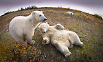 Polar Bear Cubs (7-8 months old) (Ursus maritimus) playing. Summer season (Sept), tundra vegetation on shores of Hudson Bay, Canada.