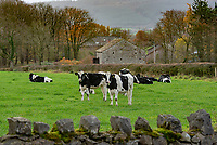 Dairy heifer near Whitewell, Clitheroe, Lancashire.