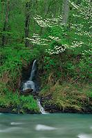 Lee Creek and flowering dogwood<br /> Devil's Den State Park<br /> Boston Mountains<br /> Washington County,  Arkansas
