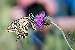 Photographer with common swallowtail butterfly {Papilio machaon} in alpine meadow. Nordtirol, Tirol, Austrian Alps, Austria, 1600 metres altitude, June.