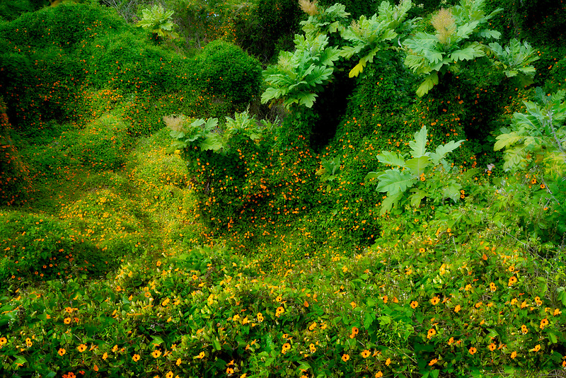 Black Eyed Susan wildflowers. Maui, Hawaii