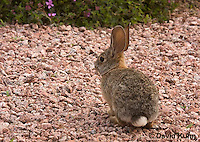 0717-1010  Desert Cottontail Rabbit (Audubons Cottontail), Sylvilagus audubonii  © David Kuhn/Dwight Kuhn Photography