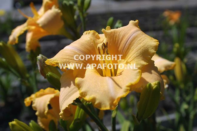 veenendaal 060701 volgens wim willemsen de beste daglelie de serena sunburst <br />foto frans ypma APA-foto