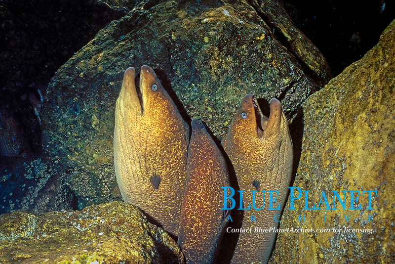 California Moray Eels Gymnothorax mordax Catalina Island, California
