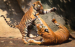 Indochinese tigers, Southest Asia