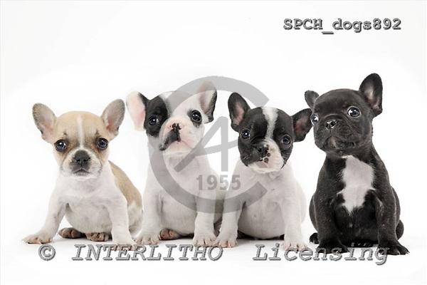 Xavier, ANIMALS, dogs, photos+++++,SPCHDOGS892,#a# Hunde, perros