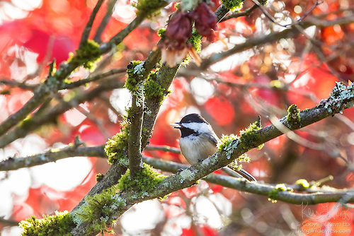 Chestnut-Backed Chickadee Feeding, Autumn, Snohomish County, Washington