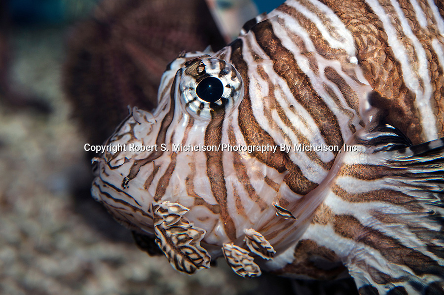 Red Lionfish swimming left, close-up