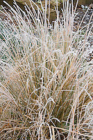 Ornamental grass in snow winter frost ice on plant leaves . Rime on edges
