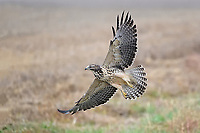 Swainson's Hawk, South Dakota roadside