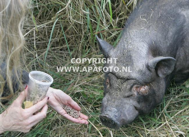 wageningen 150705 2 hangbuikzwijntjes gedumpt.<br />eindelijk vindt Dafne westehof een van de 2 uitgehongerde zwijntjes langs een sloot<br />foto frans ypma apa-foto