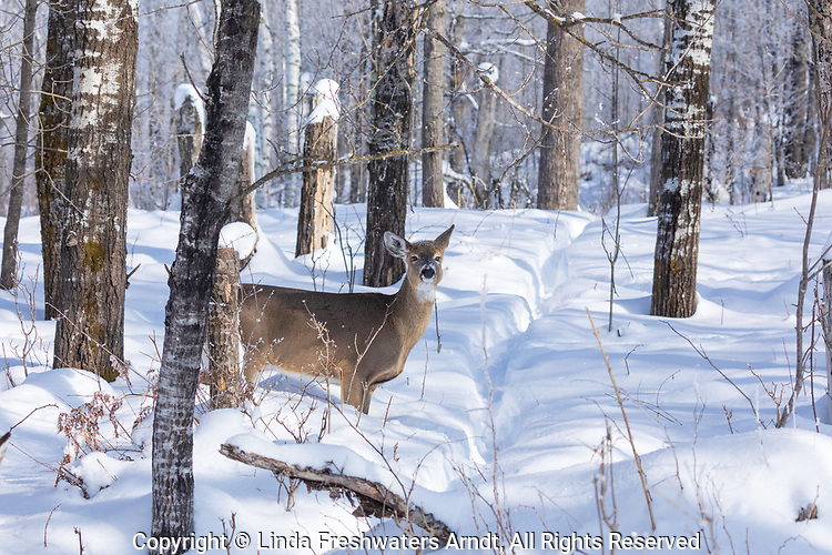 White-tailed doe standing next to a game trail in northern Wisconsin.