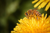 """Honey Bee on Dandelion"" - Honey bees gather pollen and nectar from dandelions. She has pollen covering much of her body, especially her face and legs and underside. At some point she'll clean the pollen off her body and pack it into the pollen baskets on her hind legs to transport it back to the hive."