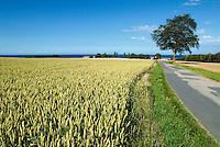 Unripe Grain Crop, agriculture, plants, food.Denmark