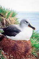 nesting gray-headed albatross, Thalassarche chrysostoma, El Sehul, South Georgia Island, UK, Atlantic Ocean