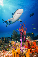 Caribbean reef shark, Carcharhinus perezii, with fishing hook and monofilament line, swimming over coral reef, Bahamas, Caribbean Sea, Atlantic Ocean