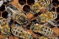 Honigbiene, in der Mitte eine Drohne, Männchen mit sich oben berührenden Augen, Bienen auf ihren Waben, Imkerei, Imker, Honig-Biene, Biene, Apis mellifera, Apis mellifica, honey bee, hive bee