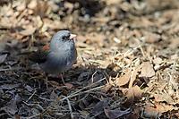 Dark-eyed Junco (Junco hyemalis caniceps), Gray-headed subspecies, foraging in Madera Canyon, Green Valley, Arizona.