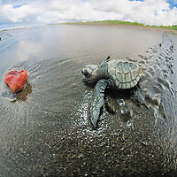 olive ridley sea turtle hatchling, Lepidochelys olivacea, a rock blocks it way to the ocean, Ostional, Costa Rica, Pacific