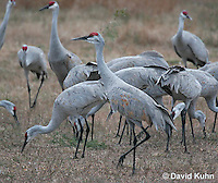 0102-1002  Flock of Sandhill Cranes Eating in Field during Winter, Grus canadensis  © David Kuhn/Dwight Kuhn Photography