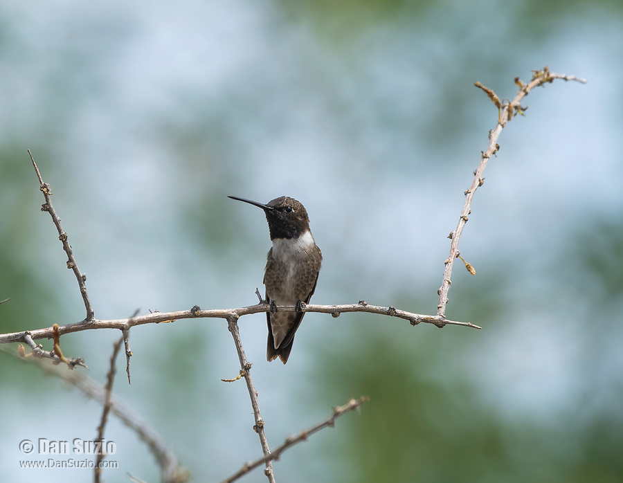 Male Black-chinned Hummingbird, Archilochus alexandri, in the Riparian Preserve at Water Ranch, Gilbert, Arizona