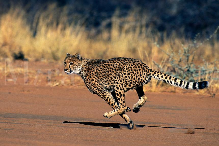 Cheetah.Acinonyx jubatus..Namabia, Africa.