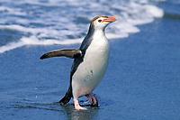 royal penguin, Eudyptes schlegeli, exiting water, MacQuarie Island, Australia