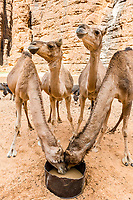 Camels drinking water, Ouinimia Amphitheater, Ennedi plateau, Chad, Africa