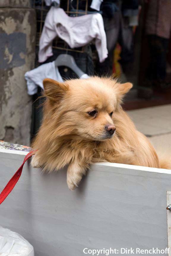 China, Peking (Beijing), Hund beim Qianmen