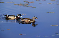 Wood Duck drake and hen in breeding season..Spring. British Columbia, Canada..(Aix sponsa).