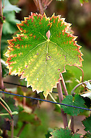 A Mourvedre leaf in the vineyard. Chateau Mourgues du Gres Grès, Costieres de Nimes, Bouches du Rhone, Provence, France, Europe