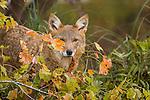 Coyote & Coyote Hunting