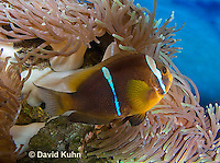 0320-1122  Clark's anemonefish (Yellowtail clownfish), Amphiprion clarkii, with Bulb-tipped Anemone, Entacmaea quadricolor  © David Kuhn/Dwight Kuhn Photography.