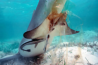 birth of lemon shark, Negaprion brevirostris: pup's tail emerges from mother's cloaca wrapped in birth sac; remoras, Echeneis naucrates, break and eat umbilical cord, Bahamas, Atlantic Ocean